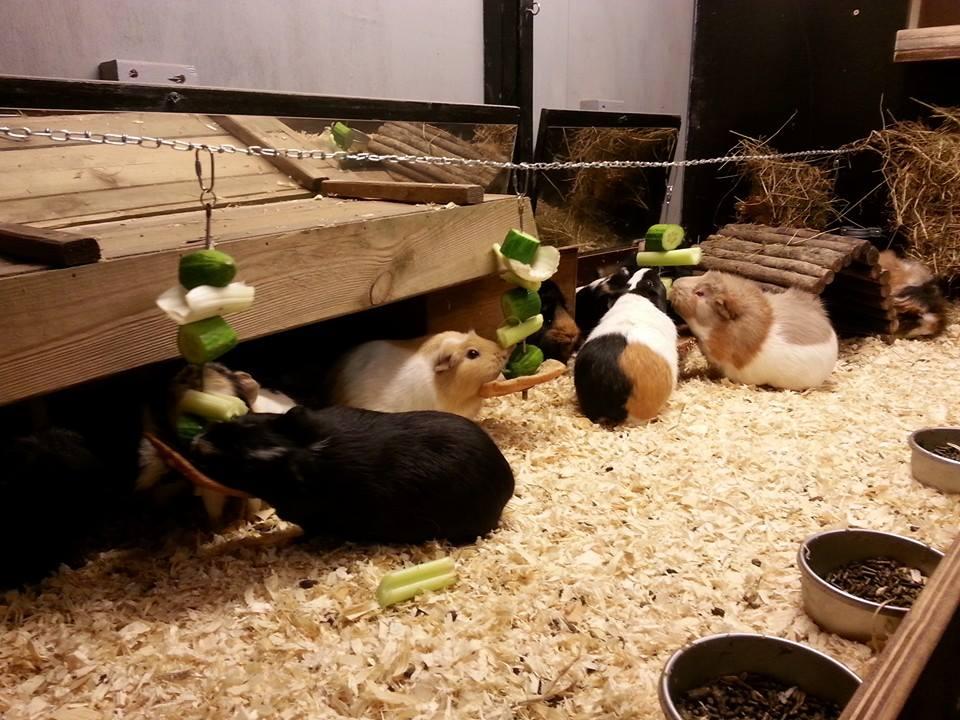 Bij Villa Piepmuis hebben de cavia's heerlijk de ruimte én veel soortgenootjes!