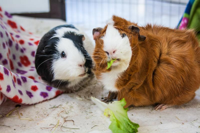 Cavia's groente eten